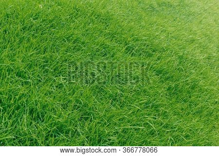 Green Grass Texture Background, Grass Garden Ideal Concept Used For Making Green Flooring, Lawn For
