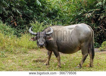 Water Buffalo Or Domestic Water Buffalo In Vietnam.
