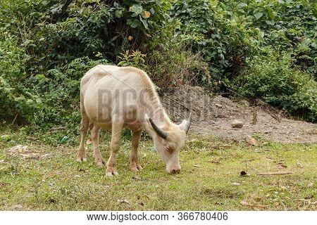 White Water Buffalo Or Domestic Water Buffalo In Vietnam.