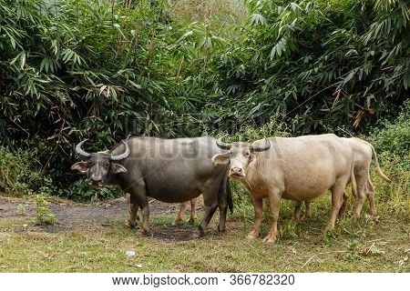 Black And White Water Buffalo Or Domestic Water Buffalo In Vietnam.