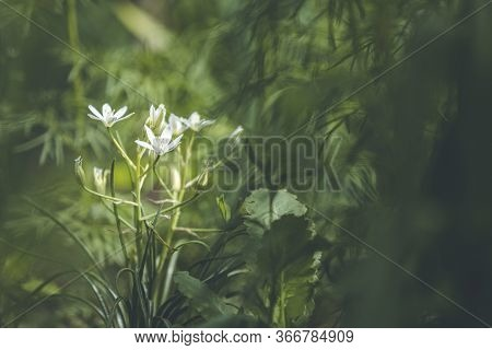 Beautiful Magical Nature Background With White Blooming  Flowers And Sunbeam In The Dark Forest Thic