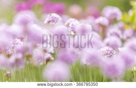 Beautiful Magical Blurred Nature Background With Blurring Blooming Pink Flowers And Sunbeam, Nature