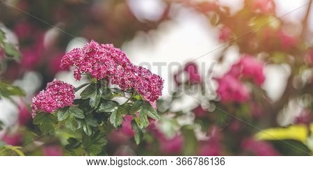 Panoramic View To Spring Background Art With Beautiful Pink Hawthorn Blossom At The Beautiful Bokeh.
