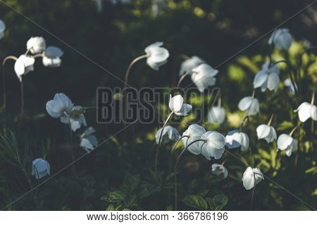 Beautiful Magical Nature Background With White Blooming Snowdrop Or Wood Anemone (anemone Sylvestris