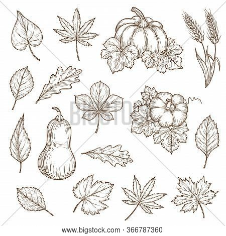 Autumn Leaves And Pumpkins Isolated Vector Sketch Icons. Fall Foliage Set Of Engraved Maple, Oak Or