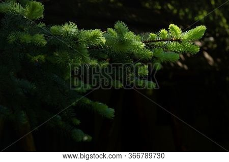 Pine Branches And Sunrays In Morning Forest