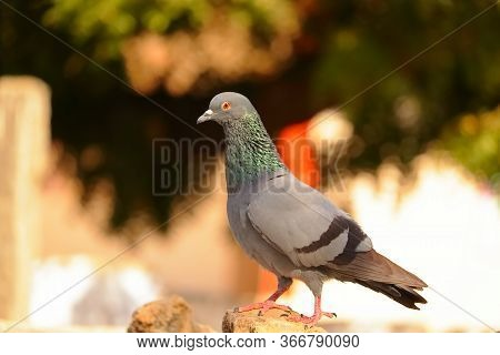 Dove Pigeon Side View Standing On The Rock In Summer, Dove Pigeon Bird Background Themes,pigeon Or D