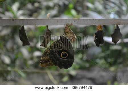 A Owl Butterfly - Caligo Eurilochus - Is Shown Emerging From It's Chrysalis. Butterfly Hatching Out