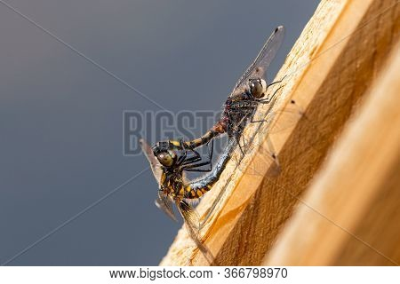 Two Large White-faced Darter Dragonflies (leucorrhinia Pectoralis) Resting On Wood And Mating