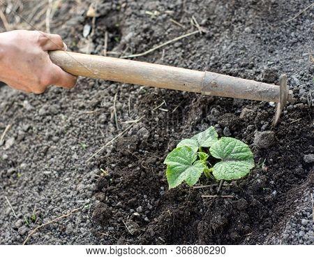 Man Farmer Working With Hoe In Vegetable Garden