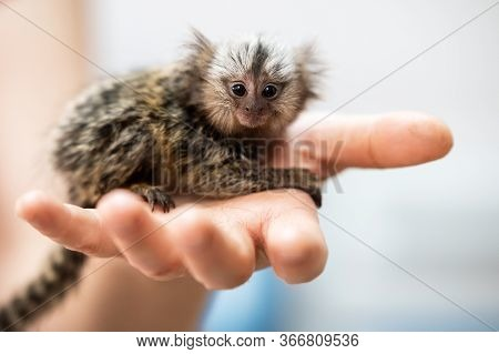 Cute Little Marmoset Monkey Sitting On Man Hand