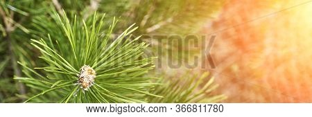 Coniferous Forrest Backlight Natural View Of The Forest. Horizontal Banner