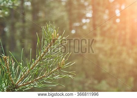 Coniferous Forrest Backlight Natural View Of The Forest