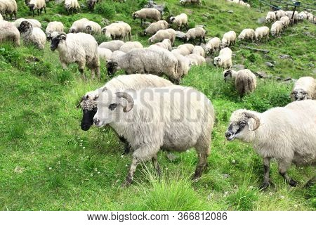 A lot sheep on green meadow. Herd of sheep on a mountain pasture in Romania