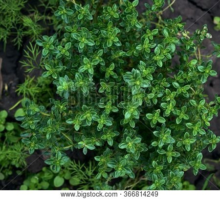 Bush Of Growing Thyme With Green Leaves In The Garden, Close Up, Top View