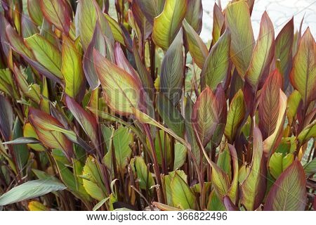 Close Up Of A Plant With Green And Brown Shaded Large Leaves In Backyard. Scenic View Of Landscaped