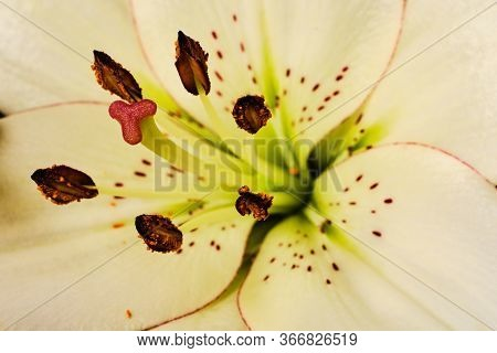 Beautiful Blooming White Lilly Flower Macro Detail - Purity Abstract