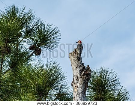 Solitary Red Bellied Woodpecker In The Top Of A Dead Tree In A Florida Pine Forest With A Cloudy Blu