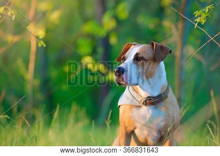 Telephoto Portrait Of A Dog Among Fresh Green Grass And Leaves. Beautiful Pitbull Terrier Mutt In Th