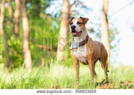 Adventure Dog In The Forest, Bright Sun Lit Image. Staffordshire Terrier Mutt Outdoors, Happy And He