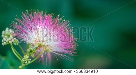 Albizia Julibrissin Or Lankaran Acacia Flower On Green Background. Selective Focus Flower Of Lankara