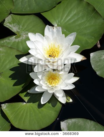 Hardy Waterlily