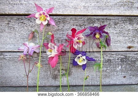 Tender Colorful Aquilegia Flowers On Old Grey Wooden Boards Background .  Pink, Violet And Blue Spri