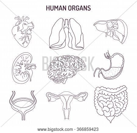 Human Internal Organs Collection. Vector Sketch Medical Symbols Isolated On White Illustration. Hand