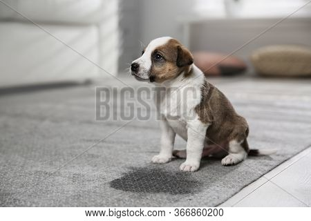Adorable Puppy Near Wet Spot On Carpet Indoors