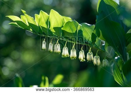 Flowering Of Polygonatum (solomons Seal) In Sunlight.