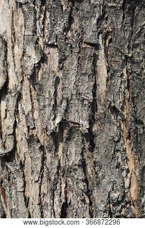 Midland Hawthorn Rosea Flore Pleno Bark Detail - Latin Name - Crataegus Laevigata Rosea Flore Pleno