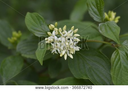 Common Dogwood - Latin Name - Cornus Sanguinea