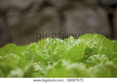 Let Us Eat Lettuce