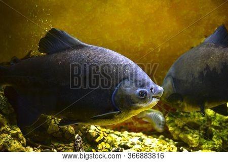 Large Piranha Fish In The Store's Aquarium