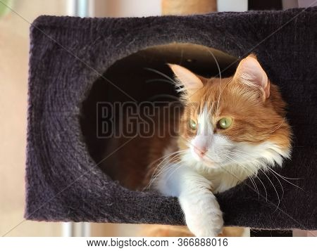 Ginger-white Female Cat In Booth Scratcher Looking Out Of The Window