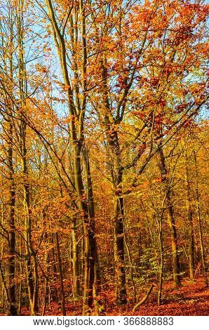 Vertical Photography Of The Autumn Trees With Colorful Fall Leaves. Autumn Forest, Fall Foliage. Blu