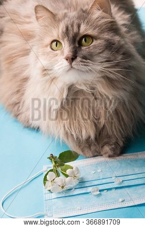Grey Cat, Flowers And Medical Mask On A Blue Background. The Concept Of Allergy. Seasonal Allergies,