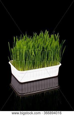 Wheatgrass Isolated On The Dark Background
