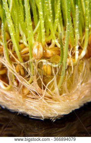 Macro Close Up Of Fresh Growth Of Seeds And Wheatgrass