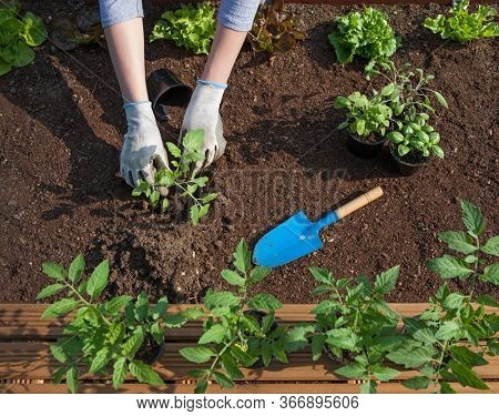 Woman wearing gloves is planting tomatoes plants into a garden vegetable patch, gardening,  food growing, healthy lifestyle, self sufficient concept