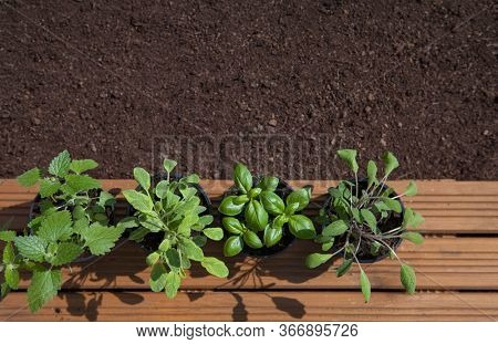 Pots with fresh herbs ready to be planted in the garden, basil, sage, and lemon balm, gardening, food growing, healthy lifestyle, self sufficient concept