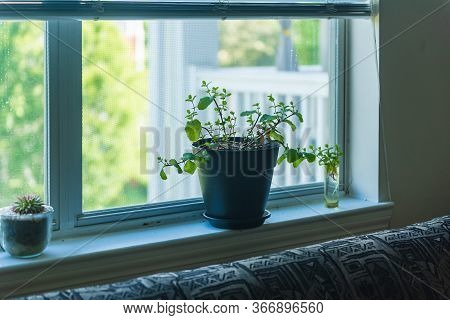 Indoor House Plant Mint Herb Planted In Pot Container On A Window Sill Ledge. Victory Garden Style.