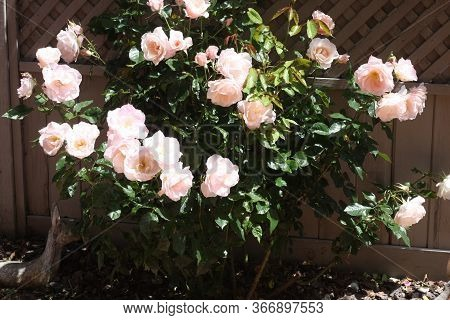 This Is An. Image Of A Rose Bush In Full  Bloom Taken In Carmel, California On A Sunny Day In May.