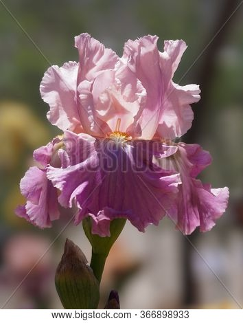 Enjoy The Eye Candy Of A Luscious Multi Toned Pink Iris Flower.