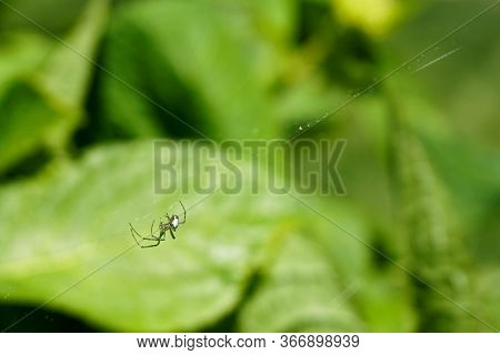 A Small Spider With A Spotted Body Crawls Along A Web On A Green Bush; Close-up