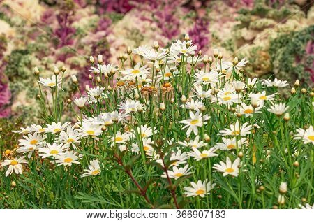 Daisy Garden, The Daisy Has White Flowers And Yellow Stamens.