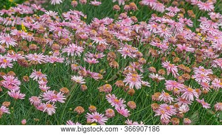 Daisy Garden, The Daisy Has Pink Flowers And Orange Stamens.
