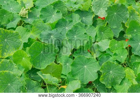 Green Leaves Lotus, Nature Of Background. Top View.