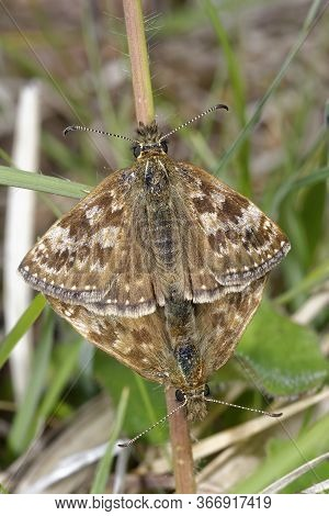 Dingy Skipper Butterflies - Erynnis Tages  Mating Pair In Grass