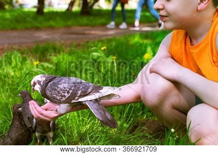 A Boy Feeds A Tame Pigeon From His Hand.